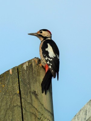 Syrian Woodpecker, Austria, Hungary, Naturalist Journeys, European Birding Tour, European Nature Tour