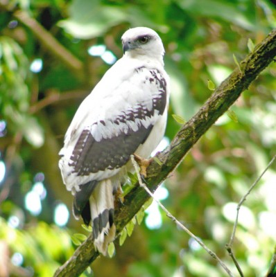 White Hawk, Honduras, Honduras Birding Tour, Honduras Butterfly Tour, Naturalist Journeys