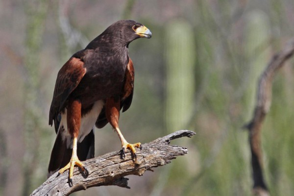 Harris's Hawk, Southeast Arizona, Arizona, Naturalist Journeys, Arizona Birding Tour
