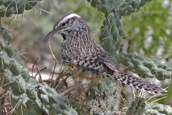 Cactus Wren, Southeast Arizona, Arizona, Naturalist Journeys, Arizona Birding Tour
