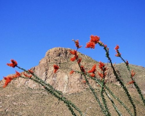Ocotillo, Big Bend National Park, Texas, Naturalist Journeys, Big Bend Nature Tour, Big Bend Birding Tour