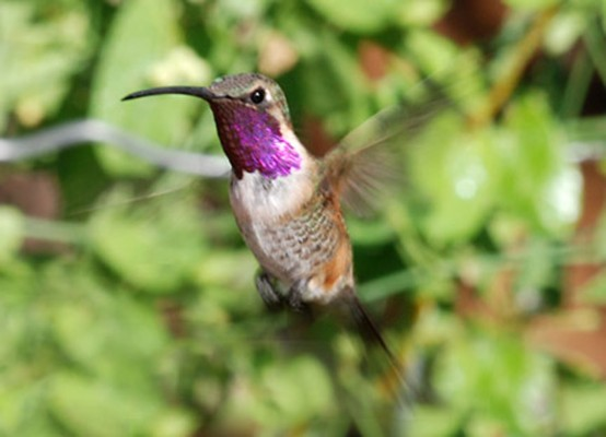 Lucifer Hummingbird, Big Bend National Park, Texas, Naturalist Journeys, Big Bend Nature Tour, Big Bend Birding Tour