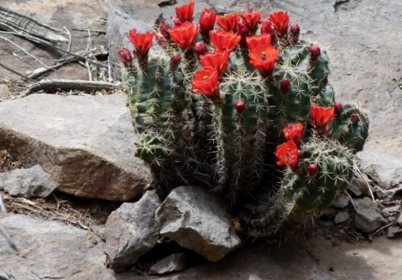 Claret Cup Cactus, Big Bend National Park, Texas, Naturalist Journeys, Big Bend Nature Tour, Big Bend Birding Tour