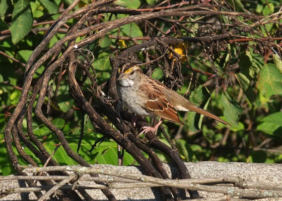 White-throated Sparrow, Isle Royale, Lake Superior Nature Tour, Great Lakes Nature Tour, Naturalist Journeys