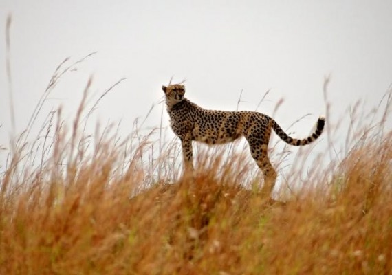 Cheetah, South Africa, African Safari, South African Safari, South Africa Wildlife Safari, Naturalist Journeys