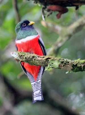Collared Trogon, Peru, Peru Nature Tour, Peru Wildlife Tour, Peru Birding Tour, Naturalist Journeys, Manu National Park Tour, Machu Picchu Tour