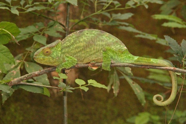 Chameleon, Madagascar, Naturalist Journeys, Madagascar Birding Tour, Madagascar Wildlife Tour, Madagascar Nature Tour