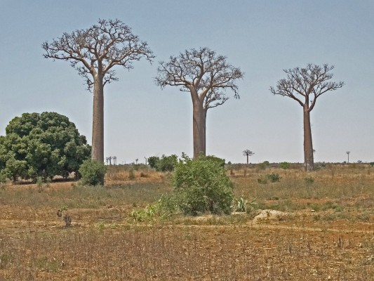 Baobab Tree, Madagascar, Naturalist Journeys, Madagascar Birding Tour, Madagascar Wildlife Tour, Madagascar Nature Tour