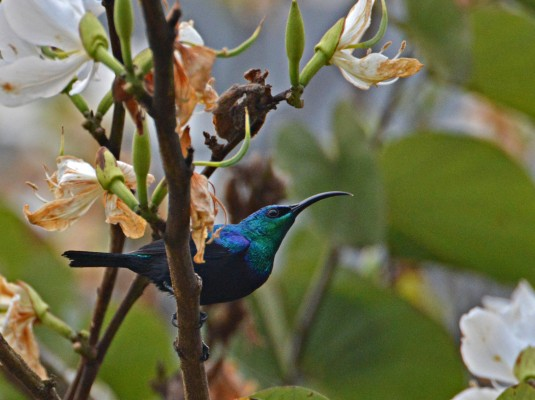 Green Sunbird, Madagascar, Naturalist Journeys, Madagascar Birding Tour, Madagascar Wildlife Tour, Madagascar Nature Tour