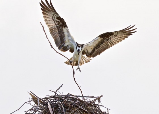 Osprey, Alamos, Sea of Cortez, Mexico, Naturalist Journeys, Mexico Birding Tour