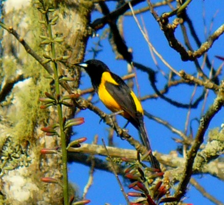 Black-vented Oriole, Alamos, Mexico, Naturalist Journeys, Mexico Birding Tour
