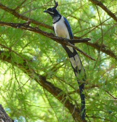 Black-throated Magpie-Jay, Mexico, Alamos, Naturalist Journeys, Mexico Birding Tour