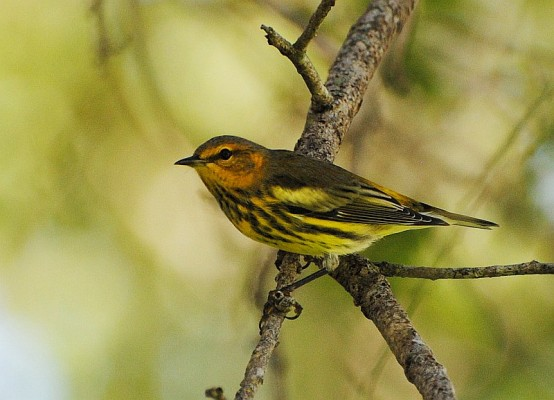 Cape May Warbler, Cape May, Naturalist Journeys, Cape May Birding Tour, Cape May Migration Tour