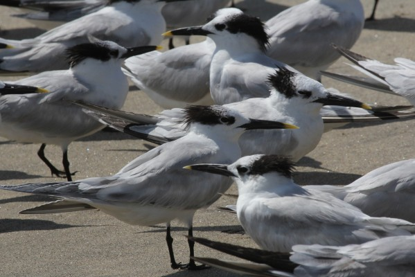 Sandwich Terns, Cape May, Naturalist Journeys, Cape May Birding Tour, Cape May Migration Tour