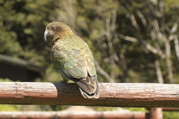 Kea, New Zealand, New Zealand Nature Tour, Naturalist Journeys