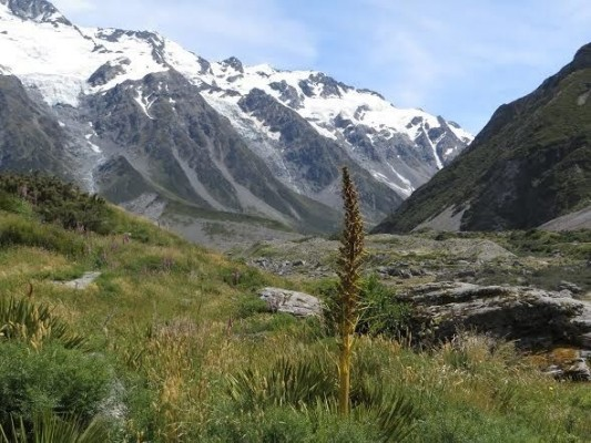 Wild Spaniard Alpine, Mount Cook National Park, New Zealand, Naturalist Journeys, New Zealand Nature Tour, New Zealand Birding Tour