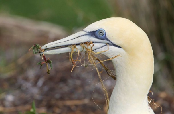 Australasian Gannet, New Zealand, Naturalist Journeys, New Zealand Nature Tour, New Zealand Birding Tour