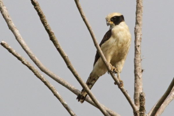 Laughing Falcon, Costa Rica, Naturalist Journeys, Costa Rica Birding Tour, Costa Rica Nature Tour