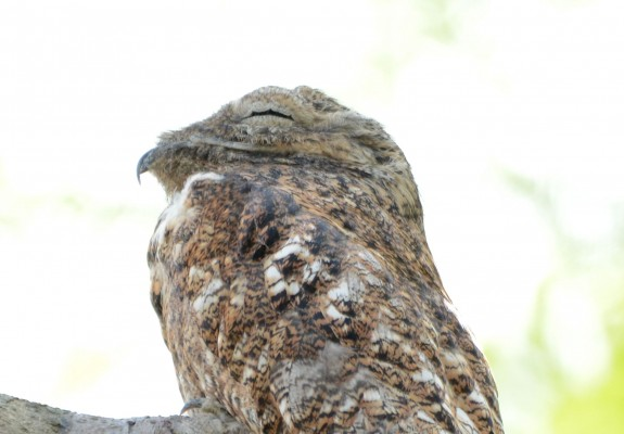 Great Potoo, Costa Rica, Naturalist Journeys, Costa Rica Birding Tour, Costa Rica Nature Tour