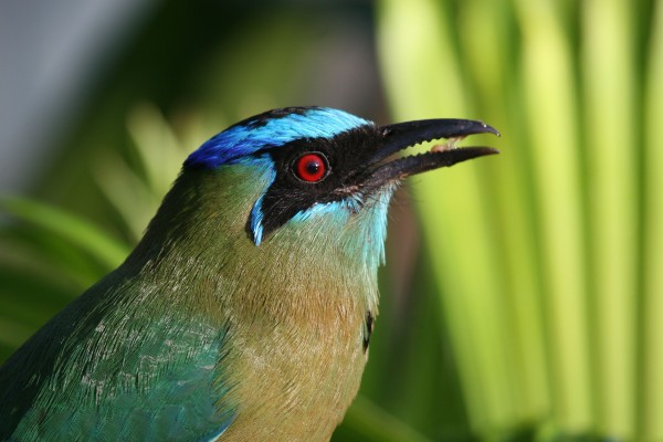 Blue-crowned Motmot, Costa Rica, Naturalist Journeys, Costa Rica Birding Tour, Costa Rica Nature Tour