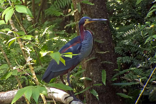 Agami Heron, Pantanal, Brazil, Naturalist Journeys, Pantanal Safari, Pantanal Wildlife Tour