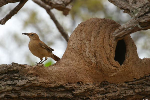Rufous Hornero, Pantanal, Brazil, Naturalist Journeys, Pantanal Safari, Pantanal Wildlife Tour