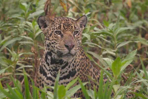 Jaguar, Pantanal, Brazil, Naturalist Journeys, Pantanal Safari, Pantanal Wildlife Tour