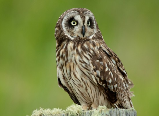 Hawaiian Short-eared Owl, Hawaii, Hawaii Nature Cruise, Naturalist Journeys, Hawaii Birding Tour
