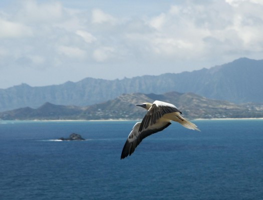 Booby in Flight, Hawaii, Hawaii Nature Cruise, Naturalist Journeys, Hawaii Birding Tour