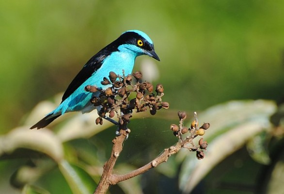 Black-faced Dacnis, Peru, Manú National Park, Peru Birding Tour, Manú National Park Birding Tour, Naturalist Journeys