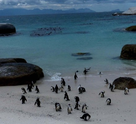 African Penguin, South Africa, South Africa Wildlife Tour, South Africa Birding Tour, South Africa Safari, Naturalist Journeys