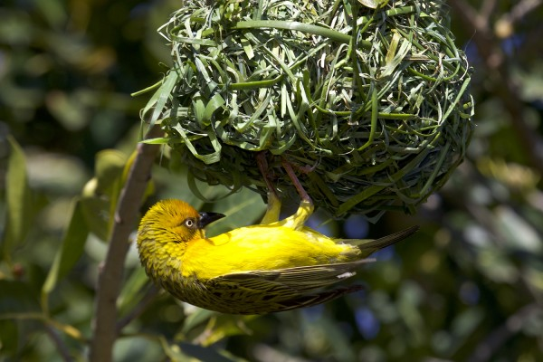 Cape Weaver, South Africa, South Africa Wildlife Tour, South Africa Birding Tour, South Africa Safari, Naturalist Journeys