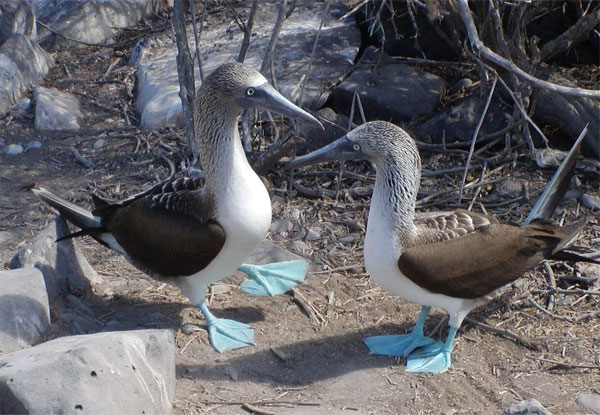 Blue-footed Boobies, Galapagos, Galapagos Cruise, Galapagos Nature Cruise, Naturalist Journeys