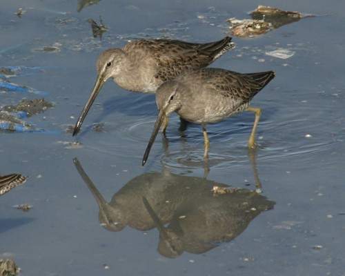 Dowitcher, Mexico, Sea of Cortez, Nature Cruise, Sea of Cortez cruise, Naturalist Journeys