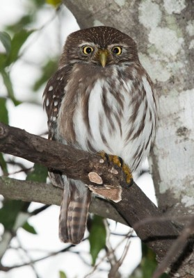 Ferruginous Pygmy Owl, South Texas, South Texas Nature Tour, South Texas Birding Tour, Naturalist Journeys
