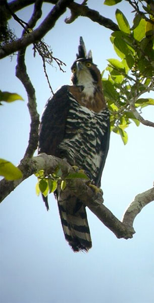 Ornate Hawk-Eagle, Belize, Naturalist Journeys, Belize Birding Tour, Belize Nature Tour