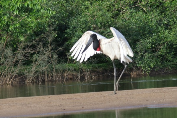 Jabiru, Belize, Belize Birding Tour, Belize Nature Tour, Naturalist Journeys