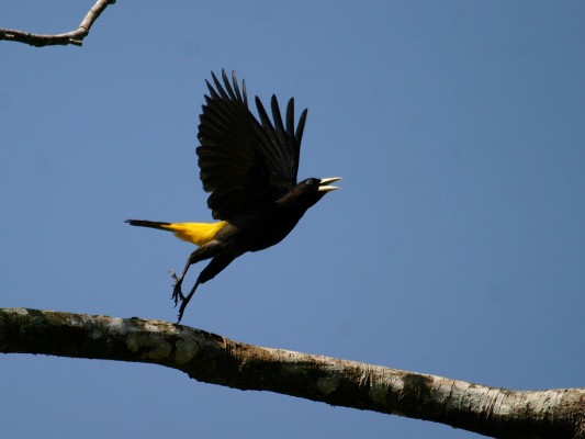Yellow-rumped Cacique, Ecuador, Ecuador Birding Tour, Ecuador Nature Tour, Ecuador Wildlife Tour, Naturalist Journeys