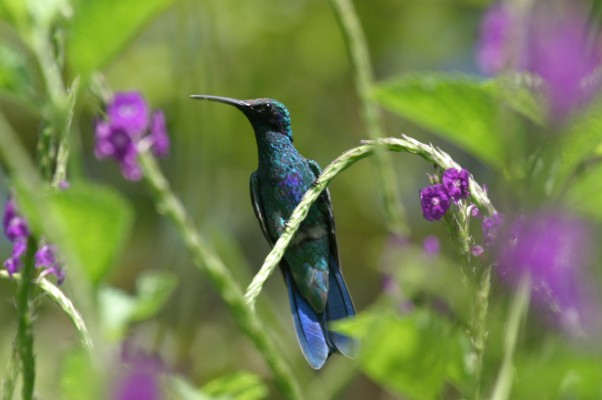 Sparkling Violetear, Ecuador, Ecuador Birding Tour, Ecuador Nature Tour, Ecuador Wildlife Tour, Naturalist Journeys