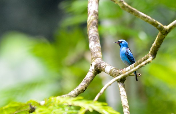 Blue Dacnis, Costa Rica Nature Tour, Costa Rica Birding Tour, Costa Rica, Naturalist Journeys
