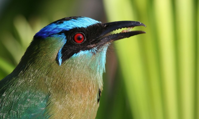 Blue-crowned Motmot, Costa Rica, Costa Rica Birding Tour, Costa Rica Nature Tour, Naturalist Journeys