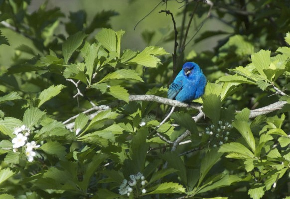 Indigo Bunting, Texas, Texas Hill Country, Texas Nature Tour, Texas Birding Tour, Naturalist Journeys