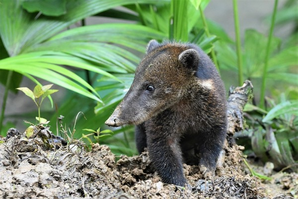 Coati, Ecuador, Ecuador Birding Tour, Ecuador Nature Tour, Naturalist Journeys