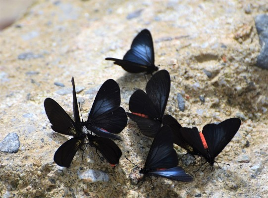 Butterflies, Ecuador, Ecuador Birding Tour, Ecuador Nature Tour, Naturalist Journeys