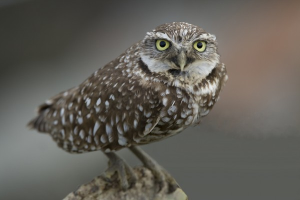 Burrowing Owl, Sandhill Crane Migration Tour, Platte River, Nebraska, Migration Tour, Naturalist Journeys