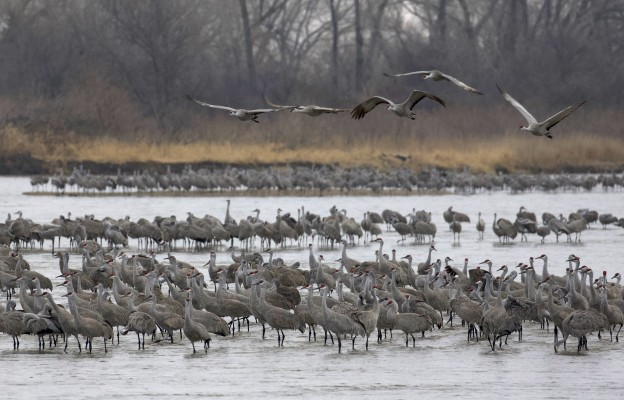 Sandhill Cranes, Sandhill Crane Migration Tour, Platte River, Nebraska, Migration Tour, Naturalist Journeys