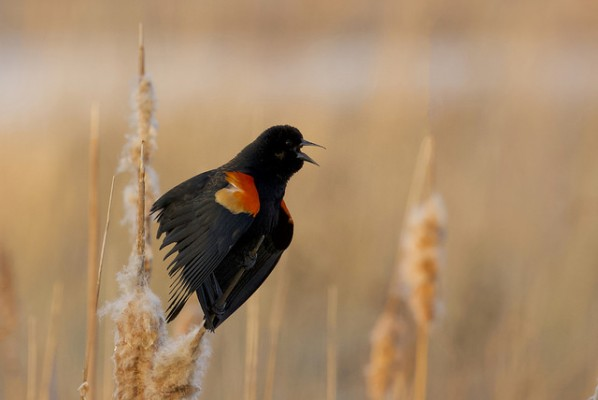 Red-winged Blackbird, Sandhill Crane Migration Tour, Platte River, Nebraska, Migration Tour, Naturalist Journeys