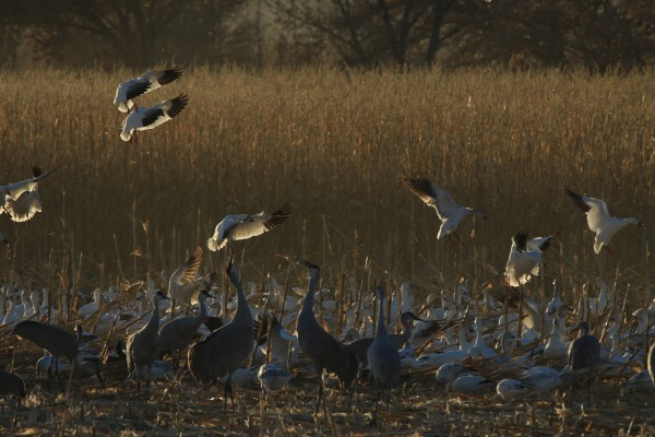 Sandhill Cranes, Snow Geese, Sandhill Crane Migration Tour, Platte River, Nebraska, Migration Tour, Naturalist Journeys