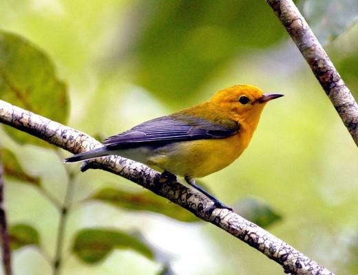 Prothonotary Warbler, Texas, Texas Coast, Big Thicket, Texas Birding Tour, Spring Migration Tour, Texas Migration Tour, Texas Nature Tour, Naturalist Journeys