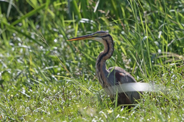 Purple Heron, Greece, Greece Birding Tour, Greece Nature Tour, Spring Migration Tour, Naturalist Journeys